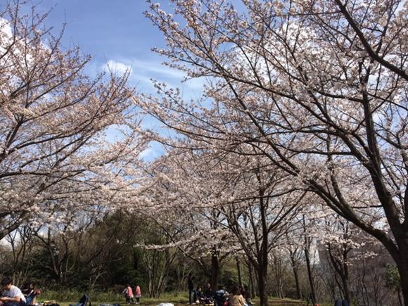 都築中央公園での花見