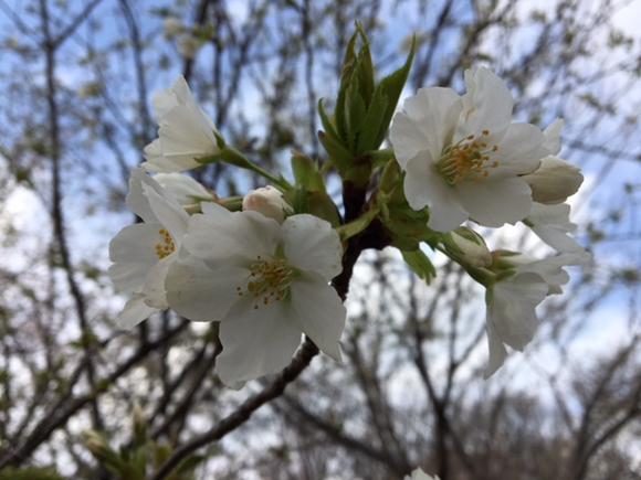 都築中央公園の桜